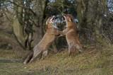 300_0598 F vos (Vulpes vulpes, Red Fox).jpg