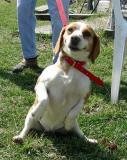 My Half Farm Beagles