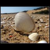 ... white shells ...