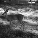 Deer in Late Sunlight