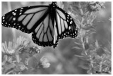 monarch in BW