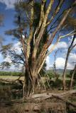 Yellow bark acacia