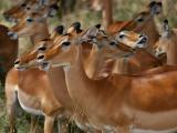 Impala choir
