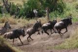 Stampeding wildebeest