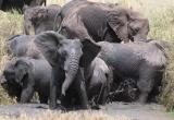 Elephant scaring crowd