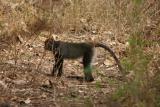 Vervet monkey, Manyara