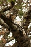 Sleeping leopard, Serengeti