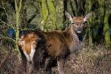 Deer 01