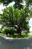 The Ambrosius Oak