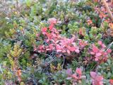 Blueberry heather in autumn colors