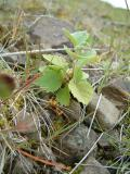 A small birch plant, just starting to grow