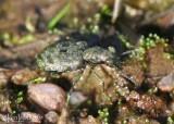 Elaphrus Marsh Ground Beetle