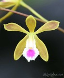 Butterfly Orchid  Encyclia tampensis