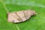 Woodgrain Leafroller Moth Pandemis lamprosana #3593