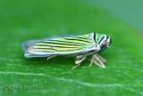 Tylozygus Leafhopper