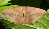 Large Maple Spanworm Moth Prochoerodes transversata #6982