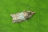 Raspberry Leaf-roller Moth Epinotia medioviridana #3286
