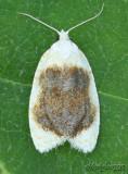 Oak Leaftier Moth Acleris semipurpurana #3503