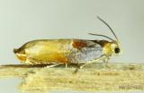 Two-toned Ancylis Moth Ancylis divisana #3375