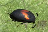 Darkling Beetle Platydema ellipticum