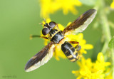 Feather-legged Fly Trichopoda plumipes