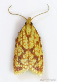 Sparganothis Fruitworm Moth Sparganothis sulfureana #3695
