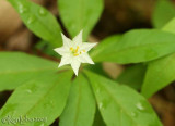 Starflower - Trientalis borealis