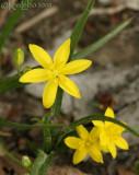 Yellow Stargrass - Hypoxis hirsuta