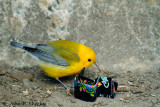 NYPL Prothonotary Warbler