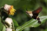 Humming bird moth2.jpg