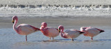 Flamingos in the Eduardo Alvaroa National Reserve, Southern Bolivia