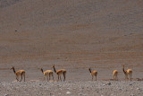 Vicuña in the Eduardo Alvaroa National Reserve, Southern Bolivia