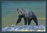 Grizzly look framed.jpg