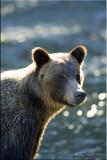 grizzly portrait .jpg