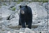 black bear on river bank.jpg