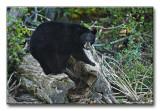 black bear 16x24.jpg