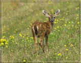 Blacktail deer fawn.jpg