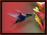 Woodnymph hummer.jpg