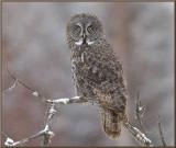 Great Grey owl in the falling snow .jpg