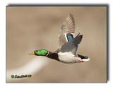 favorite-mallard-flight-shot.jpg