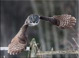Great-grey-wings-fanned.jpg