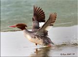 Common Merganser-female-flight-.jpg