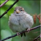 house-sparrow-baby.jpg