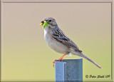 Clay-colored-sparrow.jpg