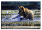 Grizzly-Mom-fishing-.jpg