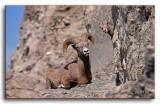 Big Horn Sheep/Goats.