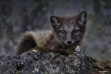 Blue Fox Kit.jpg