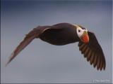 Tufted Puffin flight.jpg