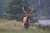 Wapiti Elk Jasper National Park.jpg