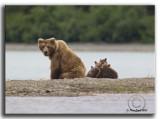 Alaska Brown  Bear.Mom with all four.jpg